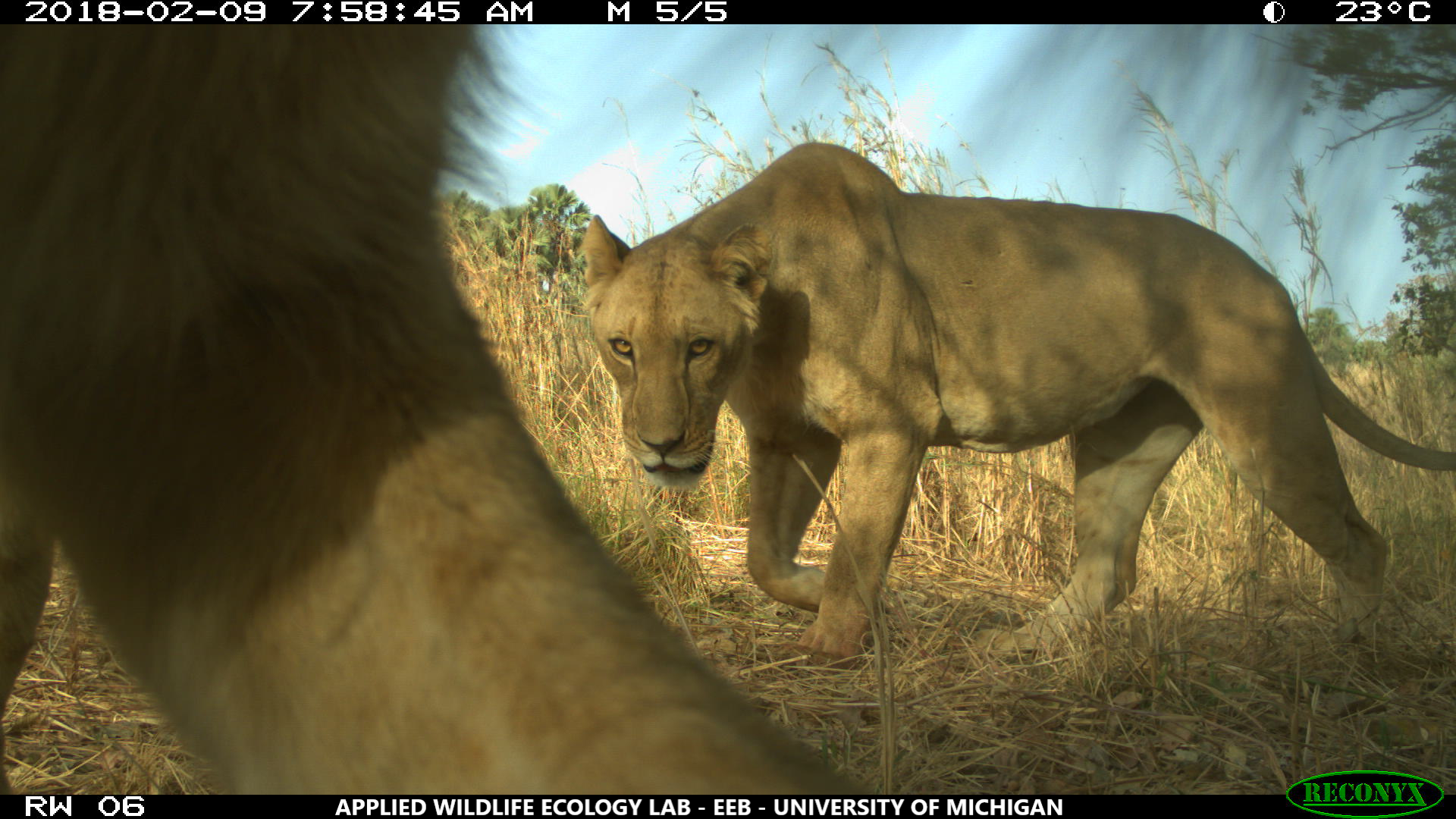 A female West African lion in Arly National Park, part of the W-Arly-Pendjari protected area complex. University of Michigan researchers used 238 motion-activated cameras to capture wildlife images across 5,000 square miles within three WAP Complex national parks and 11 hunting concessions. Image credit: University of Michigan Applied Wildlife Ecology Lab.