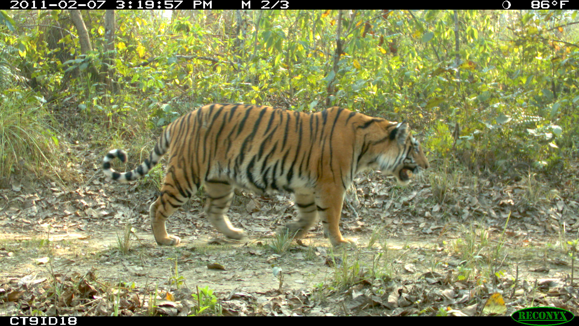 An adult tiger walking along a dirt road in Nepal's Chitwan National Park. Nepal's East-West Highway, currently mostly a single lane in each direction, runs adjacent to the park. There are plans to add an additional lane in each direction and to build a railway nearby, which could impact tiger habitat connectivity. Image credit: Neil Carter