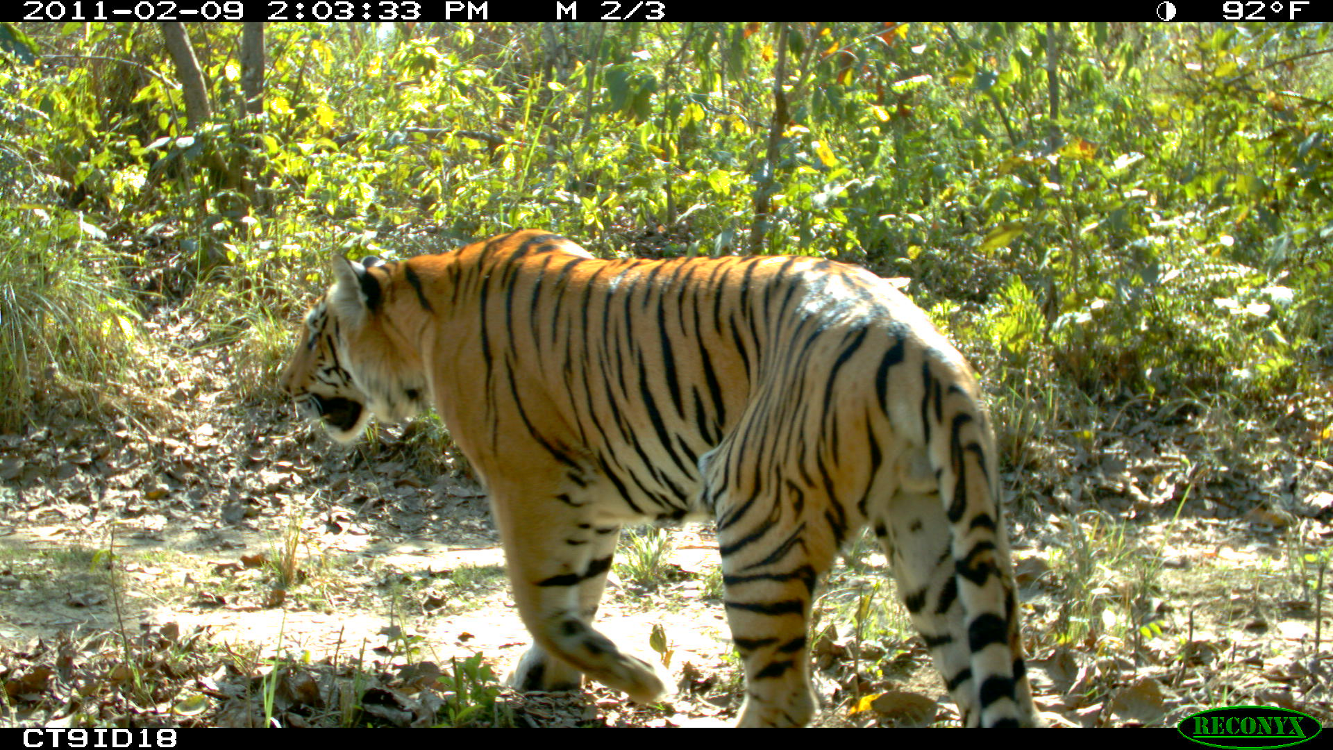 An adult male tiger in Nepal's Chitwan National Park. Nepal's East-West Highway, currently mostly a single lane in each direction, runs adjacent to the park. There are plans to add an additional lane in each direction and to build a railway nearby, which could impact tiger habitat connectivity. Image credit: Neil Carter