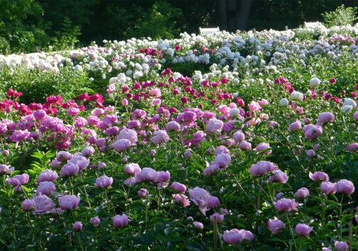 Peony Garden. Image credit: Nichols Arboretum