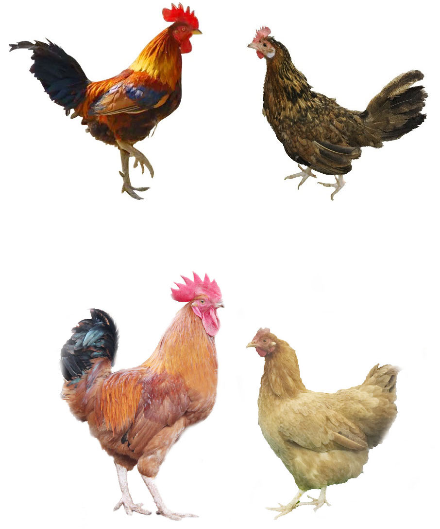 A male Tibetan chicken (left) and a female Tibetan chicken. Bottom row: A male lowland chicken (left) and a female lowland chicken. Image credit: Diyan Li