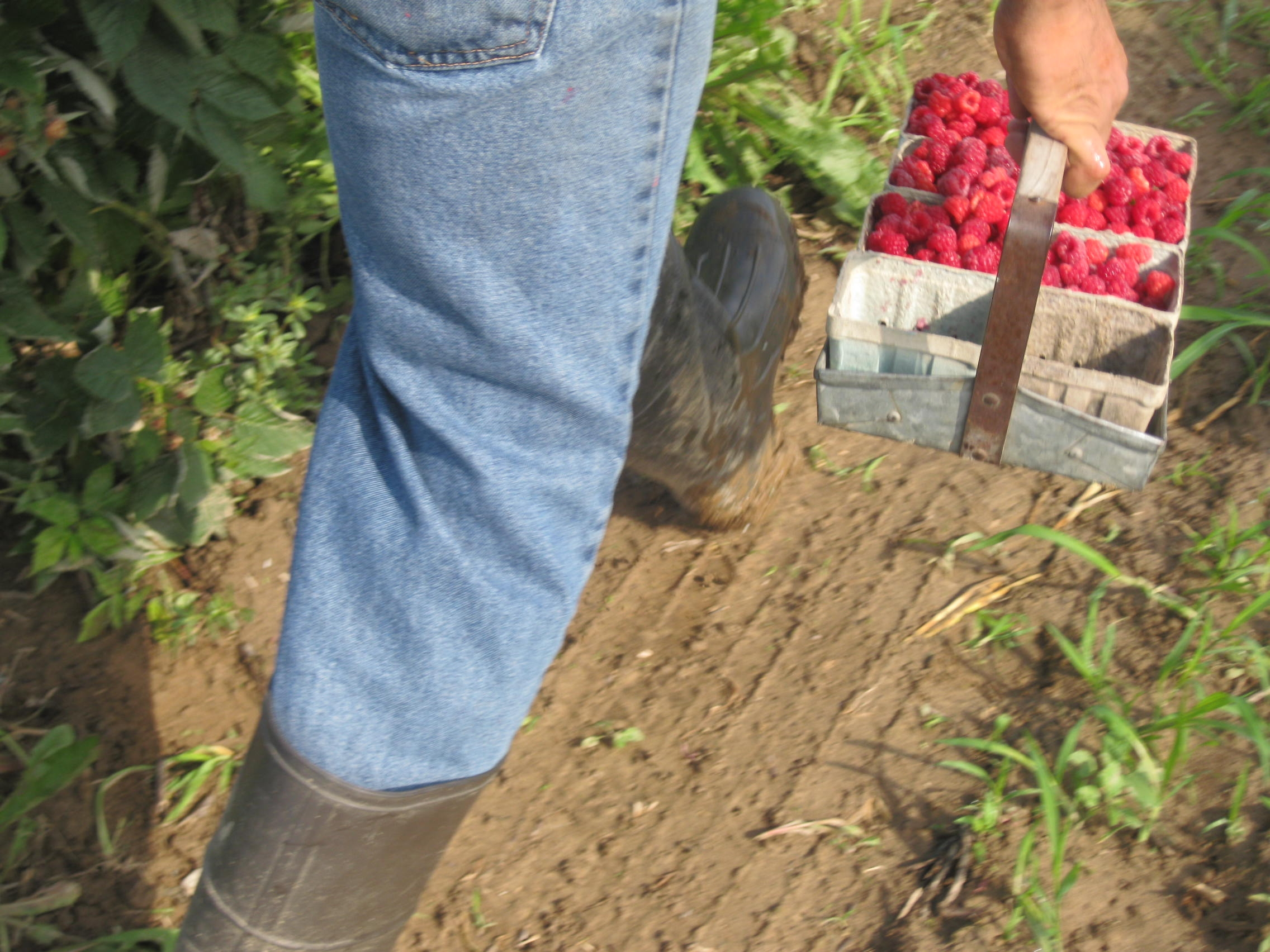 Raspberries. Image credit: Michigan Immigrant Rights Center