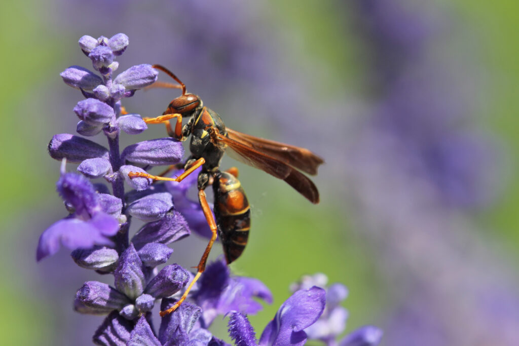 paper wasp on a purple flower