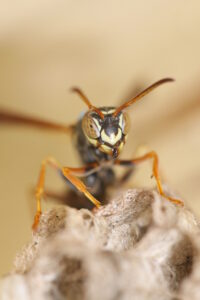paper wasp sitting on nest