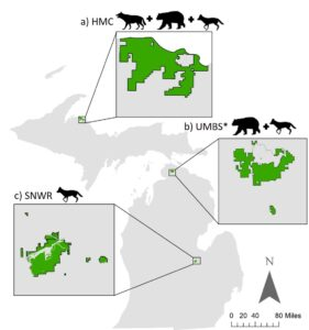 Map shows the three locations included in the U-M scat-analysis study, the Huron Mountain Club (HMC) in the Upper Peninsula and two Lower Peninsula sites: the University of Michigan Biological Station (UMBS) near Pellston and the Shiawassee National Wildlife Refuge (SNWR) near Saginaw. Animal icons indicate the presence of gray wolves, black bears and coyotes at HMC; black bears and coyotes at UMBS; and coyotes at SNWR. Image credit: U-M Applied Wildlife Ecology Lab, from Colborn et al. in the Journal of Animal Ecology (2020).