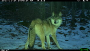 Gray wolf at the Huron Mountain Club in Michigan's Upper Peninsula. Image credit: U-M Applied Wildlife Ecology Lab.