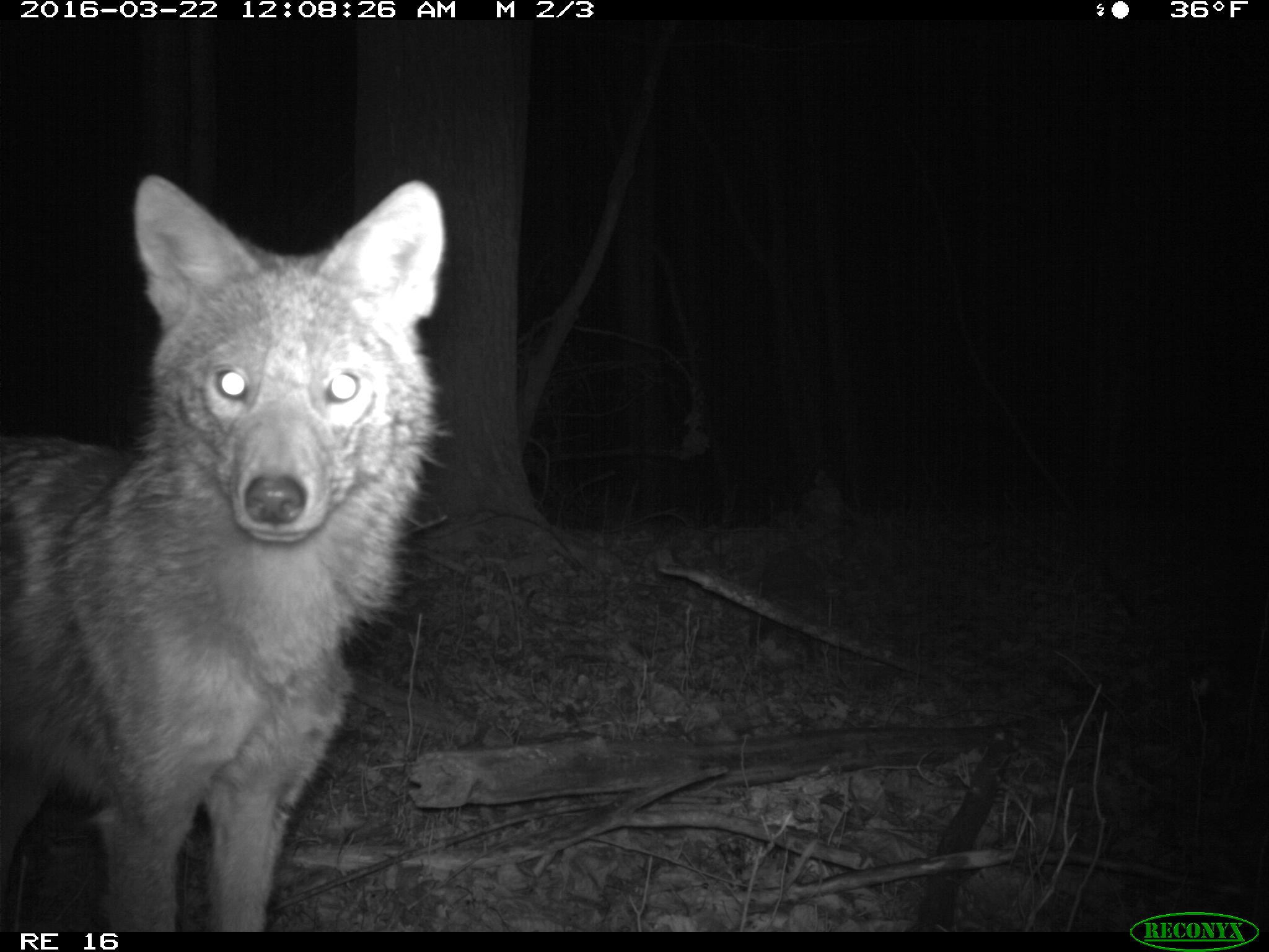 Nighttime photo of a coyote at the Shiawassee National Wildlife Refuge near Saginaw. Image credit: U-M Applied Wildlife Ecology Lab.