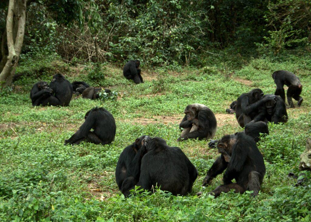 A group of chimpanzees foraging at Ngamba Island Chimpanzee Sanctuary in Uganda. Image courtesy: Innocent Ampeire