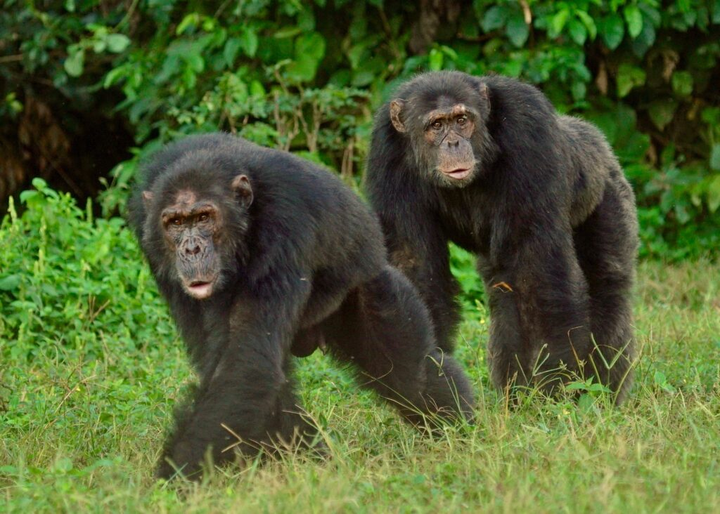A pair of chimpanzees at Ngamba Island Chimpanzee Sanctuary in Uganda. Image courtesy: Innocent Ampeire