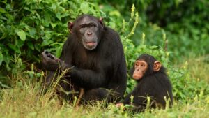 A parent and infant foraging at Ngamba Island Chimpanzee Sanctuary in Uganda. Image courtesy: Innocent Ampeire