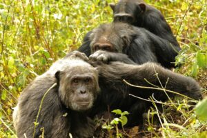 Kanyawara Chimpanzee Triad Grooming: Three males groom together in a chain—Likizo (a younger male) grooms Big Brown (an older male), who grooms Lanjo (another younger male). Image credit: John Lower.