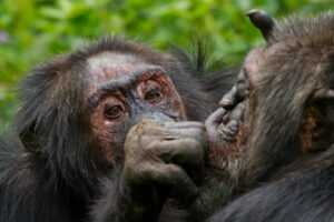 Dyad of Kanyawara Chimpanzees Grooming: Stout, an older male (on left) grooms Big Brown (on right), another old male who is his long-term mutual friend. Image credit: Ronan Donovan.