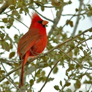 The northern cardinal has a relatively low-frequency song and has delayed breeding in response to noise pollution, according to a new study in the journal Nature. Image credit: Dave Keeling