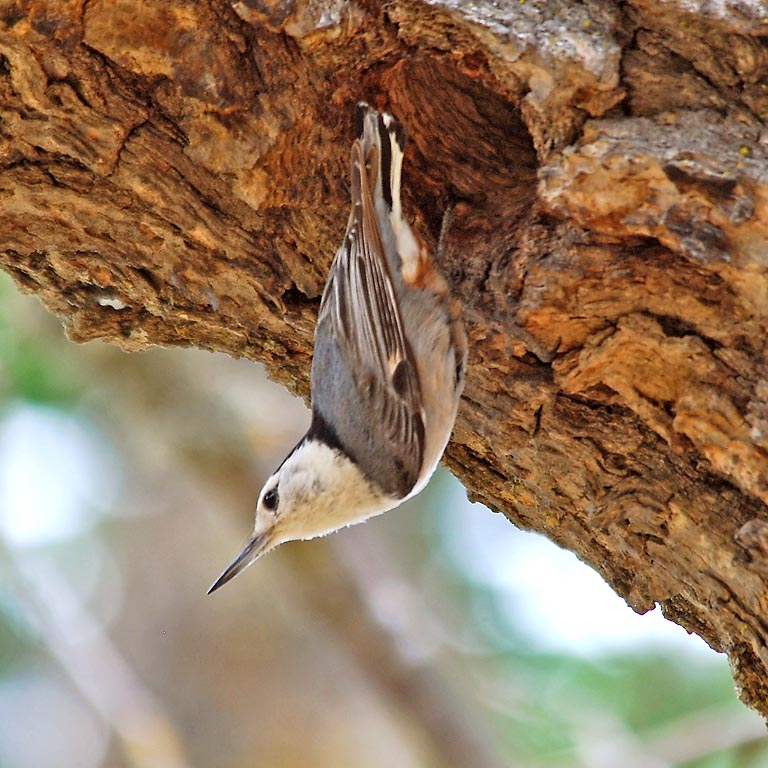 The white-breasted nuthatch has good dim-light vision and has advanced the timing of nesting in response to light exposure, according to a new study in the journal Nature. Image credit: Dave Keeling