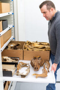 Cody Thompson, mammal collections manager and assistant research scientist at the U-M Museum of Zoology, opens a drawer containing moose bones collected on Michigan's Isle Royale. Image credit: Scott Soderberg, Michigan Photography