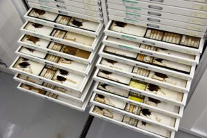 Drawer of bat specimens in the U-M Museum of Zoology collection. Image credit: Dale Austin, Michigan Photography