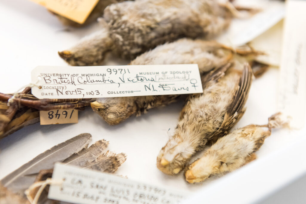Young California quail collected in Victoria, British Columbia, in 1903. The specimens are part of U-M's Museum of Zoology collection. Image credit: Daryl Marshke, Michigan Photography