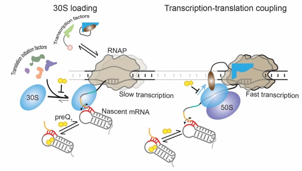 The 30S subunit of the ribosome can dynamically bind to the nascent mRNA as soon as its binding site emerges from the RNAP. Transcription factors and translation initiation factors assist in the initial binding and retention of the 30S subunit on the mRNA, resulting in the stabilization of an early initiation complex. During translation, the ribosome can follow the leading RNAP, establishing transcription-translation coupling and maintaining optimal transcription speed. In the presence of the ligand preQ1, transcription-translation coupling is disrupted, surprisingly leading to slow transcription. Image credit: The Walter Lab