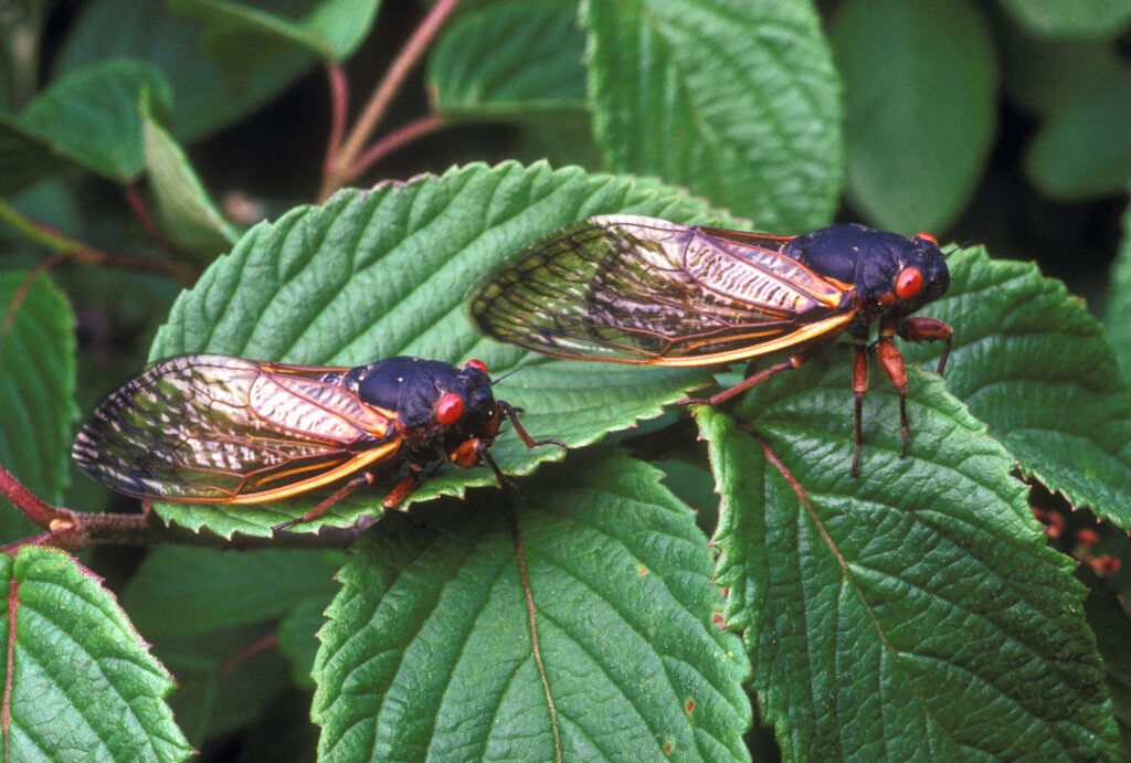 Magicicada cicadas like these will emerge from the ground soon after developing underground for 17 years. Image credit: USDA Agricultural Research Service