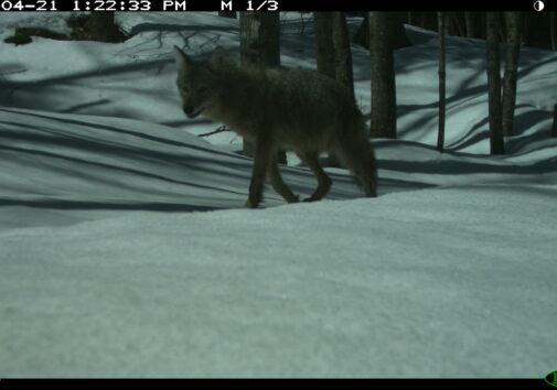 A coyote at the Huron Mountain Club in Michigan's Upper Peninsula. In the U-M wildlife study, coyotes were sometimes misidentified as wolves or foxes, while gray wolves were occasionally misidentified as coyotes. Image credit: University of Michigan Applied Wildlife Ecology Lab.