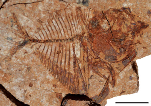 The moonfish Mene, which is still alive today in the Indian and Pacific oceans, is a common fossil at Ras Gharib A. Scalebar equals 10 mm. From El-Sayed et al. in Geology, 2021.