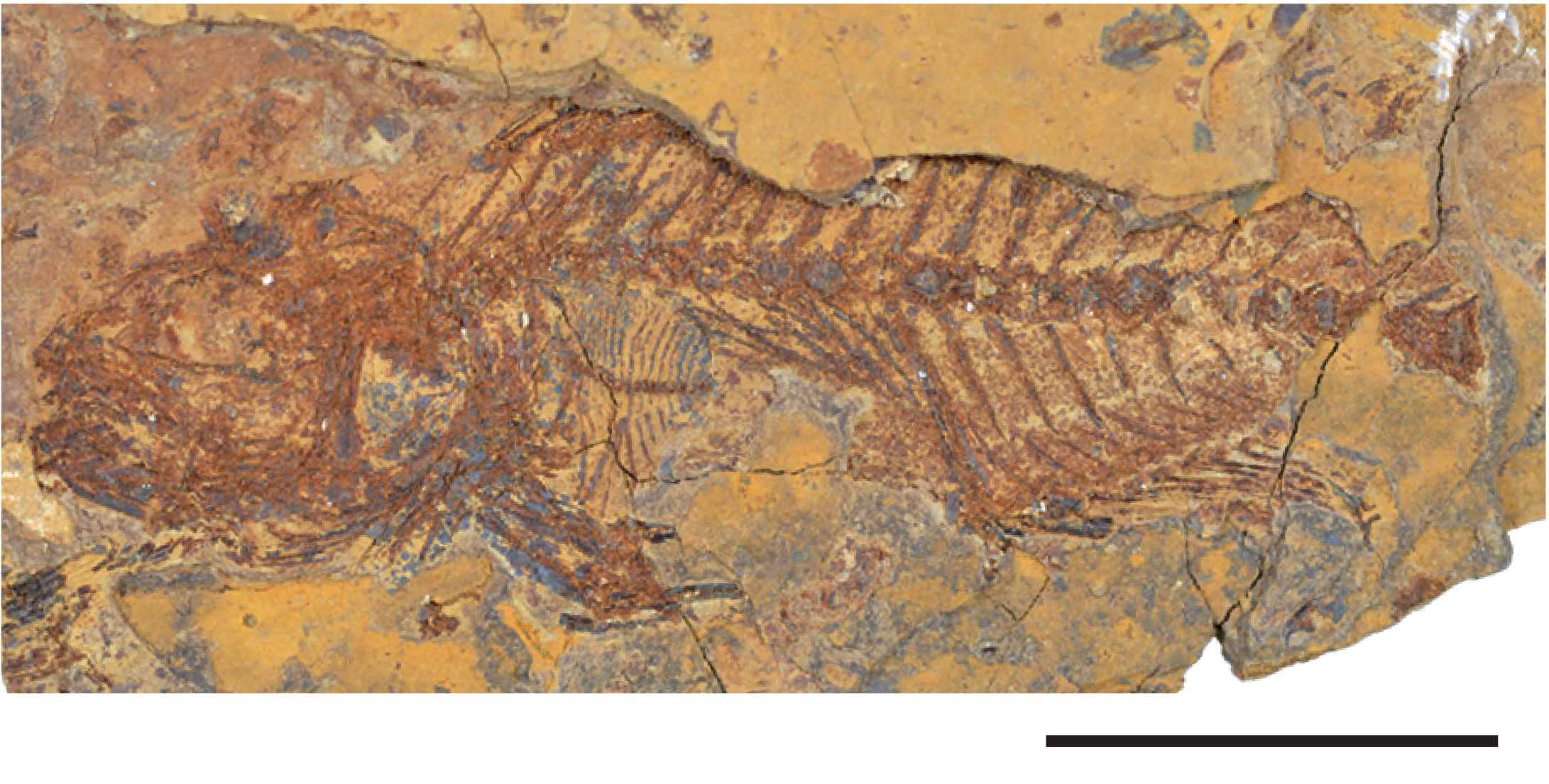 A fossilized fish skeleton