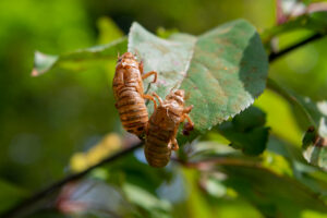 Two papery brown shells left behind after juvenile periodical cicadas shed their exoskeletons and emerged as adults. The photo was taken May 25 at Moore's Ann Arbor-area home. Image credit: Daryl Marshke, University of Michigan Photography.