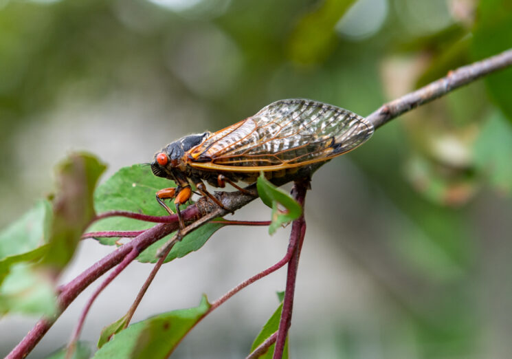 An adult Brood X periodical cicada