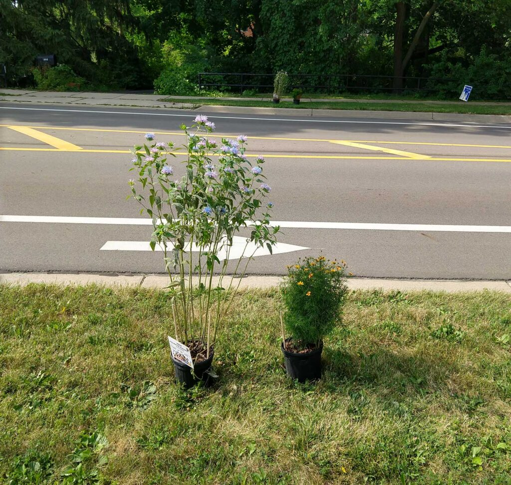 Experimental setup showing both species of flowering plants used in the University of Michigan study of how roads affect the movement of pollen between plants. A wild bergamot (Monarda fistulosa) plant is on the left, and a threadleaf coreopsis plant (Coreopsis verticillata) is on the right. Image credit: Chatura Vaidya