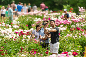 Visitors come from all over Michigan and surrounding states to see the University of Michigan's historic peony garden at Nichols Arboretum. The garden is the largest collection of heirloom peonies in North America. Image credit: Scott Soderberg/Michigan Photography.
