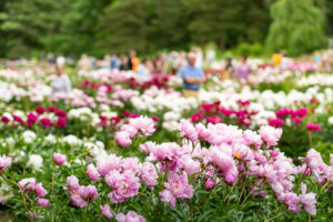 The University of Michigan's peony garden at Nichols Arboretum contains up to 800 plants that produce as many as 10,000 blossoms at peak bloom. Image credit: Scott Soderberg/Michigan Photography.