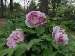 Tree peonies have woody stems and usually bloom two to three weeks before the herbaceous peonies. The flowers' delicate, papery petals come in a range of colors such as yellow, purple, and apricot. Image credit: Michele Yanga/University of Michigan Matthaei Botanical Gardens and Nichols Arboretum.