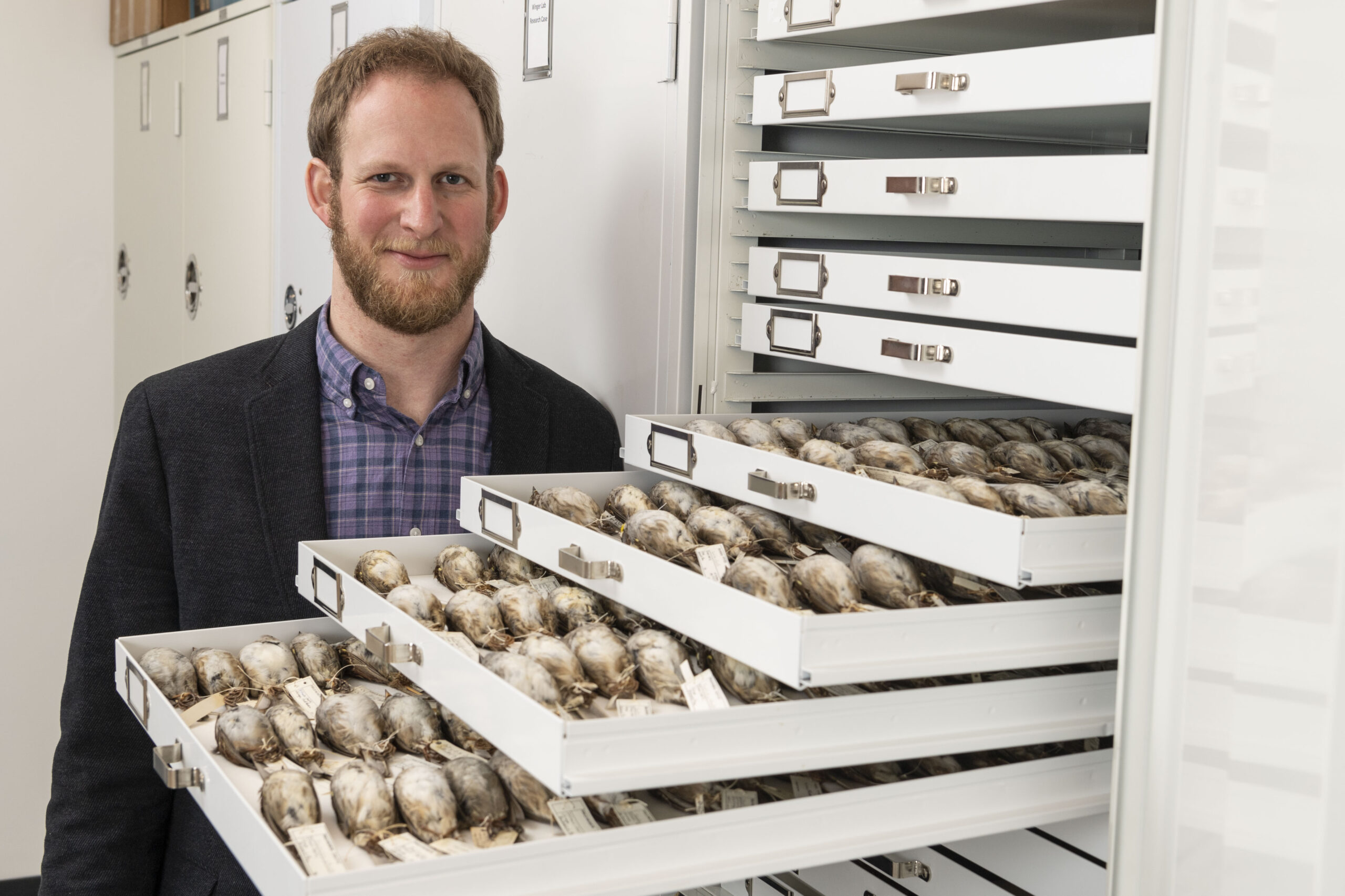 University of Michigan evolutionary biologist and ornithologist Benjamin Winger with some of the migratory songbirds from the Field Museum's collections, gathered after crashing into windows in Chicago. Winger is a senior author of the new Journal of Animal Ecology paper. Image credit: Roger Hart, Michigan Photography