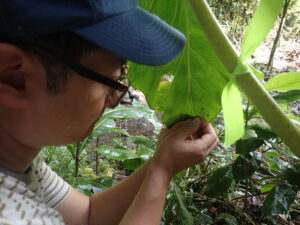 Inhee Lee, an assistant professor at the University of Pittsburgh and alum of Michigan Engineering, attaches a Michigan Micro Mote computer system to a leaf harboring a Partula hyalina snail. Image credit: Cindy Bick