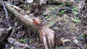 A rosy wolf snail marked and equipped with a Michigan Micro Mote computer system in the Fautaua-Iti Valley site in Tahiti. Image credit: Inhee Lee