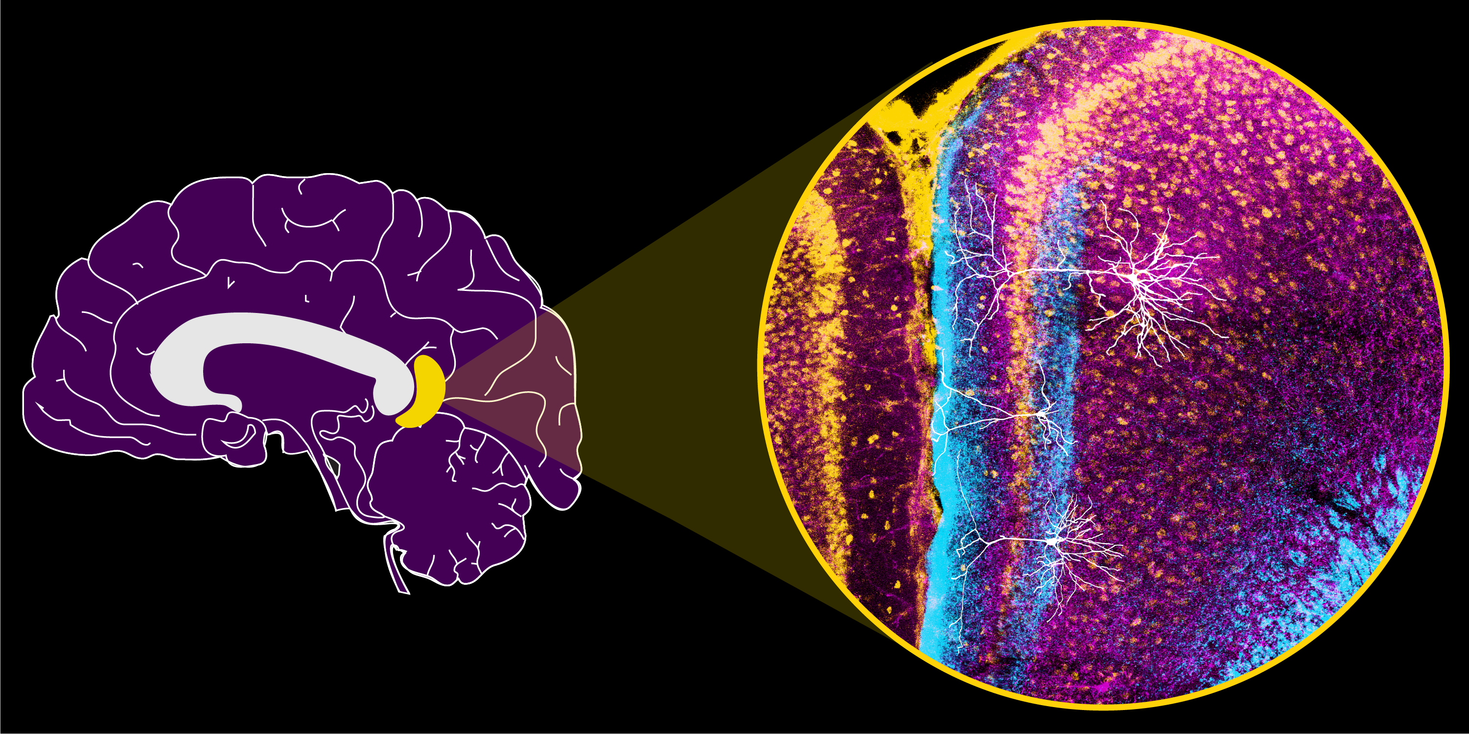 An image of the retrosplenial cortex within the brain, zooming in on the right to show inputs from two other brain regions (blue and purple), along with local retrosplenial neurons (yellow). Three neuronal subtypes (white) are overlaid, revealing a small, unique neuron (middle) ideally positioned to receive and process spatial inputs. Image credit: Brennan, Jedrasiak-Cape, Kailasa et al. (CC BY 4.0)
