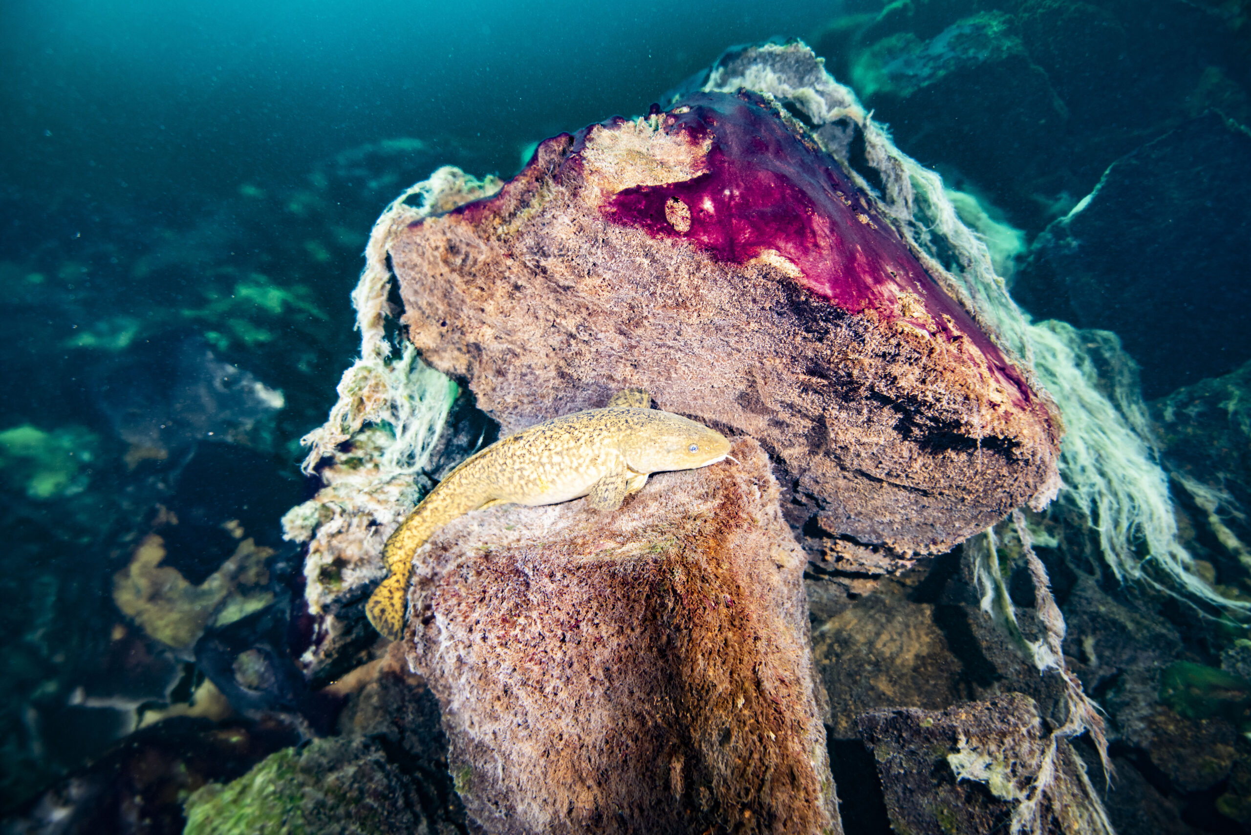 A burbot fish resting on rocks covered in purple and white microbial mats inside the Middle Island Sinkhole in Lake Huron. Photo credit: Phil Hartmeyer, NOAA Thunder Bay National Marine Sanctuary.