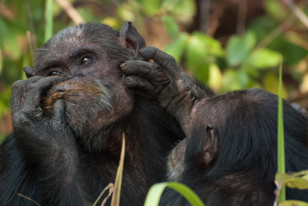Adult males Tubi and Wilkie groom each other in the Gombe Stream National Park. Image copyright: Ian Gilby, Arizona State University