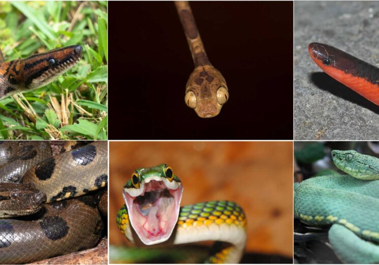 A sampling of snake diversity. Clockwise from upper left: rainbow boa (Epicrates cenchria), image credit Pascal Title, U-M Museum of Zoology; Amazon basin tree snake (Imantodes lentiferus), image credit Pascal Title, U-M Museum of Zoology; western worm snake (Carphophis vermis), image credit Alison Rabosky, U-M Museum of Zoology; two-striped forest pitviper (Bothrops bilineatus), image credit Dan Rabosky, U-M Museum of Zoology; parrot snake (Leptophis ahaetulla), image credit Ivan Prates, U-M Museum of Zoology; and green anaconda (Eunectes murinus), image credit Dan Rabosky, U-M Museum of Zoology. These species show considerable variability in their diets, ranging from generalist predators on vertebrates (rainbow boa, anaconda) to species that specialize on sleeping lizards (tree snake), earthworms (worm snake), and tree frogs (parrot snake).