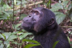 A chimpanzee (Pan troglodytes) in Kibale National Park, Uganda. Evidence from the new study suggests that primates may have maintained a capacity for arboreal habits through the mass extinction 66 million years ago, despite global deforestation. Image credit: Daniel J. Field