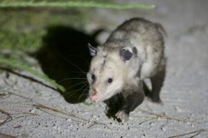 A Virginia opossum (Didelphis virginiana), Croatan National Forest, North Carolina. Opossums are marsupials, one of the groups that may have retained some semi-arboreal characteristics from the time of the K-Pg impact, according to the new study. Marsupials suffered some of the greatest diversity losses and longest recovery times in the wake of the impact 66 million years ago. They were nearly eradicated from North America and today are mainly found in Australia, Tasmania and New Guinea. Image credit: Daniel J. Field