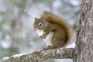 An American red squirrel (Tamiasciurus hudsonicus) in Calgary, Alberta. Most of today's tree-dwelling mammals, such as red squirrels, originated after the asteroid impact 66 million years ago, which devastated forests worldwide. A new study suggests that ground-dwelling and semi-arboreal mammals were better able to survive the event. Image credit: Daniel J. Field