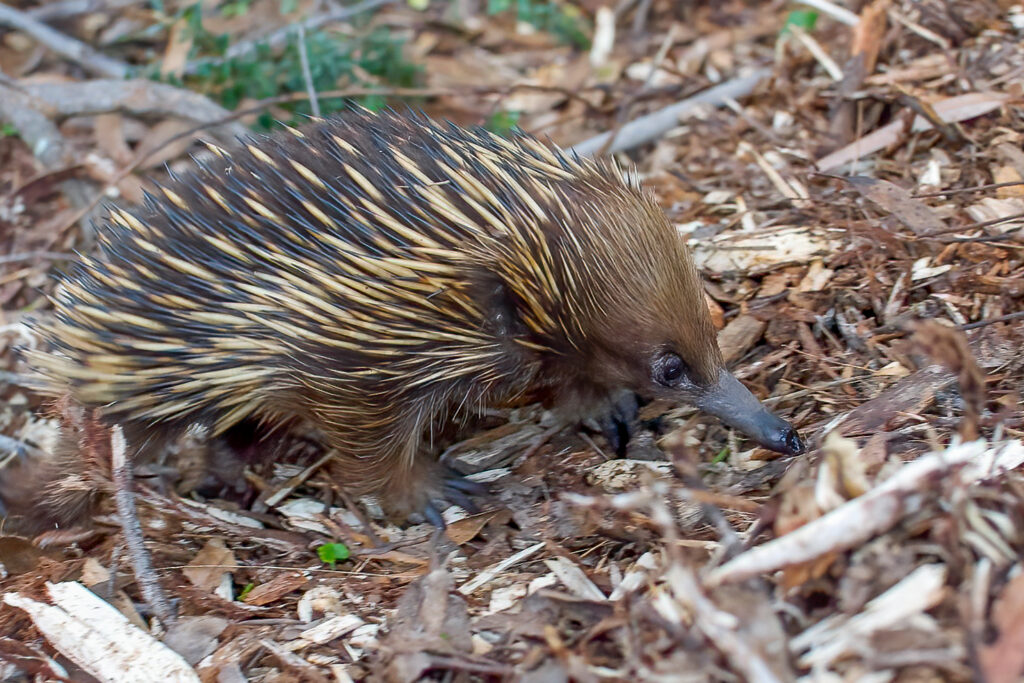A short-beaked echidna (Tachyglossus aculeatus), Budderoo National Park, New South Wales, Australia. Echidnas are monotremes, one of the three main groups of mammals along with placentals and marsupials. The group also includes the platypus. Scientists believe monotremes were ground-dwelling creatures before the K-Pg asteroid impact and remained so afterward. Image credit: Daniel J. Field