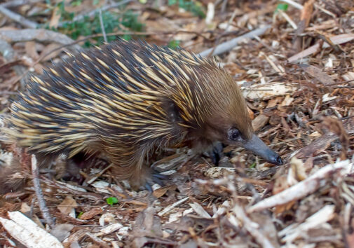 A short-beaked echidna (Tachyglossus aculeatus), Budderoo National Park, New South Wales, Australia. Echidnas are monotremes, one of the three main groups of mammals along with placentals and marsupials. The group also includes the platypus. Scientists believe monotremes were ground-dwelling creatures before the K-Pg asteroid impact and remained so afterward. Image credit: Daniel J. Field.